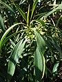 Starr 090121-0924 Chenopodium oahuense.jpg