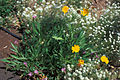 Starr 980529-4180 Coreopsis lanceolata.jpg
