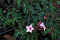 Starr 980529-4191 Cryptostegia grandiflora.jpg