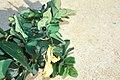 Starr 990105-2917 Lonicera japonica.jpg