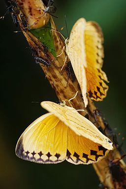 Stichophthalma howqua formosana male back