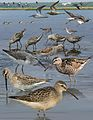 Stilt sandpiper From The Crossley ID Guide Eastern Birds.jpg
