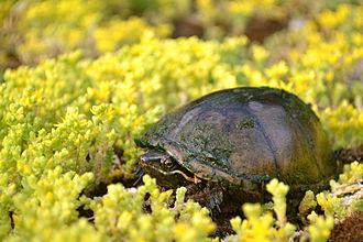 Sternotherus odoratus - Image: Stinkpot Turtle