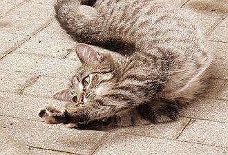 Flexibility (anatomy) - Stretching cat