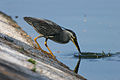 Striated Heron - gotcha - Flickr - Lip Kee.jpg