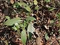Strobilanthes ciliatus Nees (6927771753).jpg