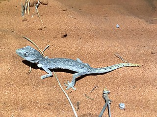 Northern spiny-tailed gecko Species of lizard