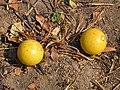 Strychnos spinosa (fruits).jpg