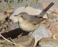 Subalpine warbler (F).jpg