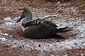 Sula nebouxii -Galapagos -nest.-8.jpg