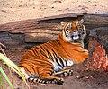 Sumatran Tiger (3265257916).jpg