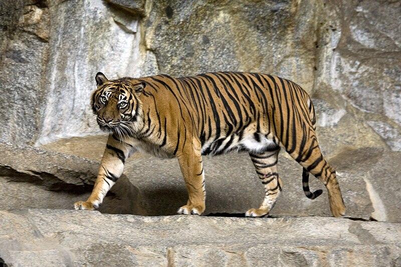 在柏林動物園中的蘇門答臘虎;攝影:Captain Herbert;CC-BY-SA