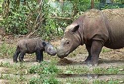 Sumatran rhinoceros four days old.jpg