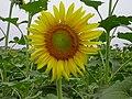 Sunflower - panoramio (6).jpg