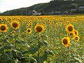 Sunflower Manno Town honoyama.jpg