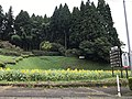 Sunflower field near Sasakura Crossroads.jpg