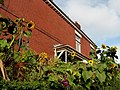 Sunflowers on the corner of Hadyn Avenue and Acomb Street in Moss Side, Manchester - panoramio.jpg