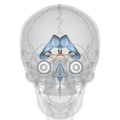 Suprachiasmatic nucleus and ventricular system - frontal view.png