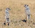 Suricatos (Suricata suricatta), parque nacional Makgadikgadi Pans, Botsuana, 2018-07-30, DD 26.jpg