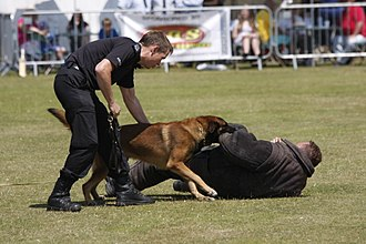 Police dog - A Belgian Malinois police dog during a demonstration in Eastbourne, Sussex, UK