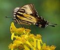 Swallowtail on Wingstem (6172419673).jpg