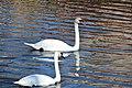 Swans at Telc (4) (26345837981).jpg