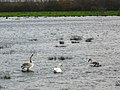 Swans don't mind the floods^ - geograph.org.uk - 1591477.jpg