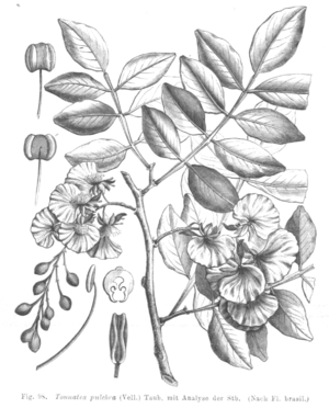 Swartzia myrtifolia, Illustration von Taubert
