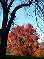Sweetgum (Liquidambar styraciflua) in Mellon Park, Pittsburgh 02.jpg