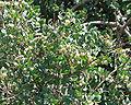 Symphoricarpos oreophilus 5.jpg
