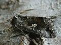 Syngrapha interrogationis - Scarce silver Y - Металловидка черничная (40213759665).jpg