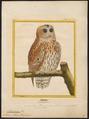 Syrnium aluco - 1700-1880 - Print - Iconographia Zoologica - Special Collections University of Amsterdam - UBA01 IZ18400155.tif