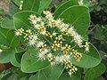 Syzygium caryophyllatum - South Indian Plum at Mayyil (8).jpg