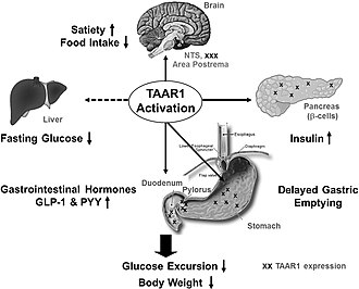 TAAR1 - Image: TAAR1 organ specific expression and function