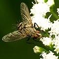 Tachinid Fly (31826646665).jpg