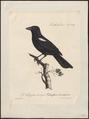 Tachyphonus melaleucus - 1825-1834 - Print - Iconographia Zoologica - Special Collections University of Amsterdam - UBA01 IZ15900261.tif