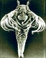 Tadpole shrimp larva 3.jpg