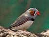 Taeniopygia guttata - profile - dundee wildlife park.jpg