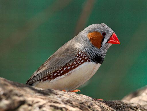 Taeniopygia guttata - profile - dundee wildlife park