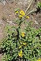 Tagetes lucida (Asteraceae) (25030393525).jpg