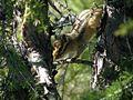 Tamias sibiricus Kolyma2.jpg