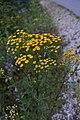 Tanacetum vulgare12.jpg