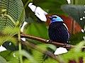 Tangara cyanicollis (Tángara real) - Flickr - Alejandro Bayer (5).jpg