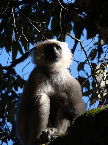 English: Tarai Grey Langur