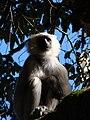 Tarai Grey Langur.jpg