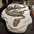 Tenontosaurus specimen.jpg