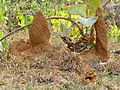 Termite mounds in Kadavoor.jpg