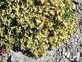 Teucrium montanum002.jpg