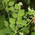 Thalictrum aquilegiifolium var. intermedium (leaf s4).JPG