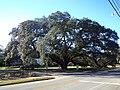 The Big Oak, Thomasville.JPG